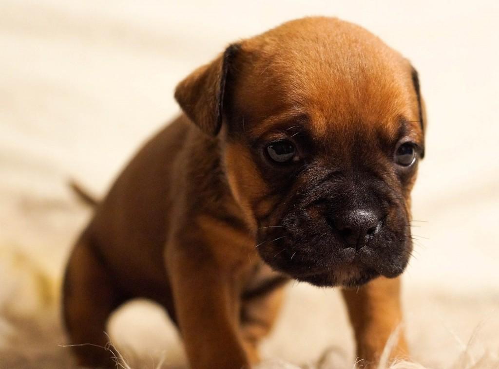 puppy-384647_1280