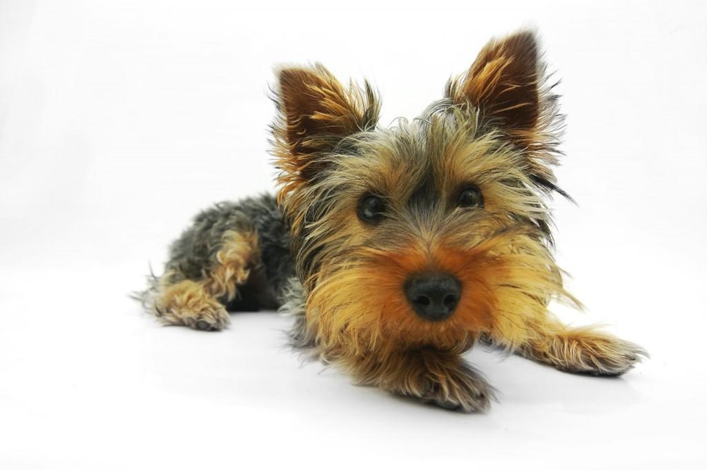 yorkshire-terrier-790361_1280